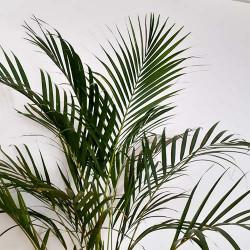 Chrysalidocarpus lutescens...