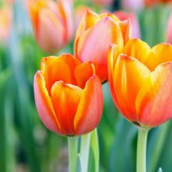 20 Tulipani